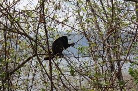 Howler monkey at Laguna Apoyo
